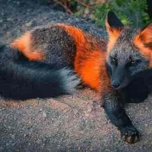 Obrázek '-Foxylady-melanic-'