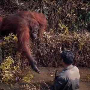 Obrázek '-pomocvnouzi-Orangutan-'