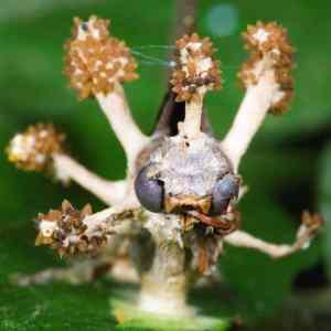 Obrázek 'Mravenecsparazitujicihoubou'