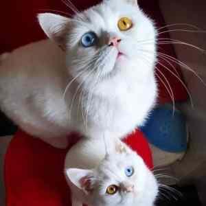 Obrázek 'colorfuleyedcats'