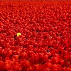 Obrázek 'tulipany05'