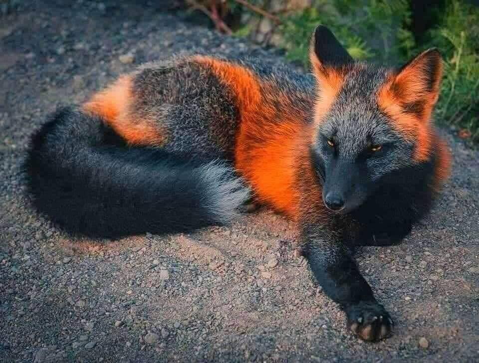 Obrázek -Foxylady-melanic-