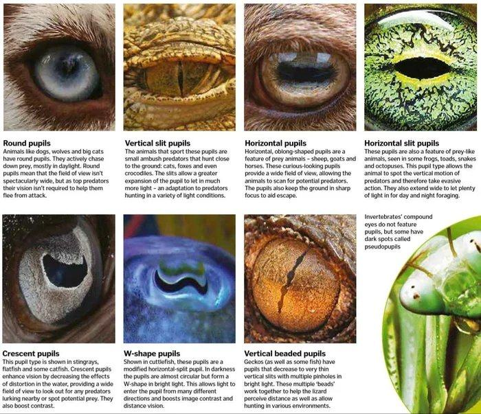 Obrázek Different-usages-of-different-pupils-on-animals