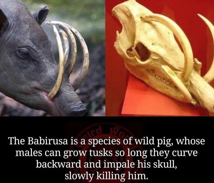 Obrázek Interesting-evolution-trait-of-the-Babirusa