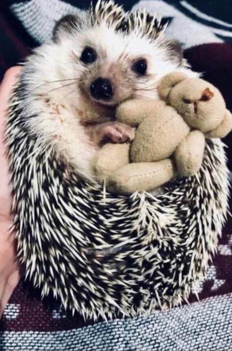Obrázek Mr.Beanshedgehog