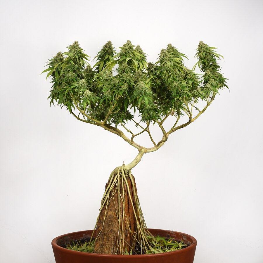 Obrázek bonsai1