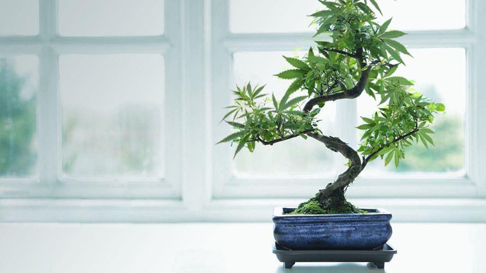 Obrázek bonsai2