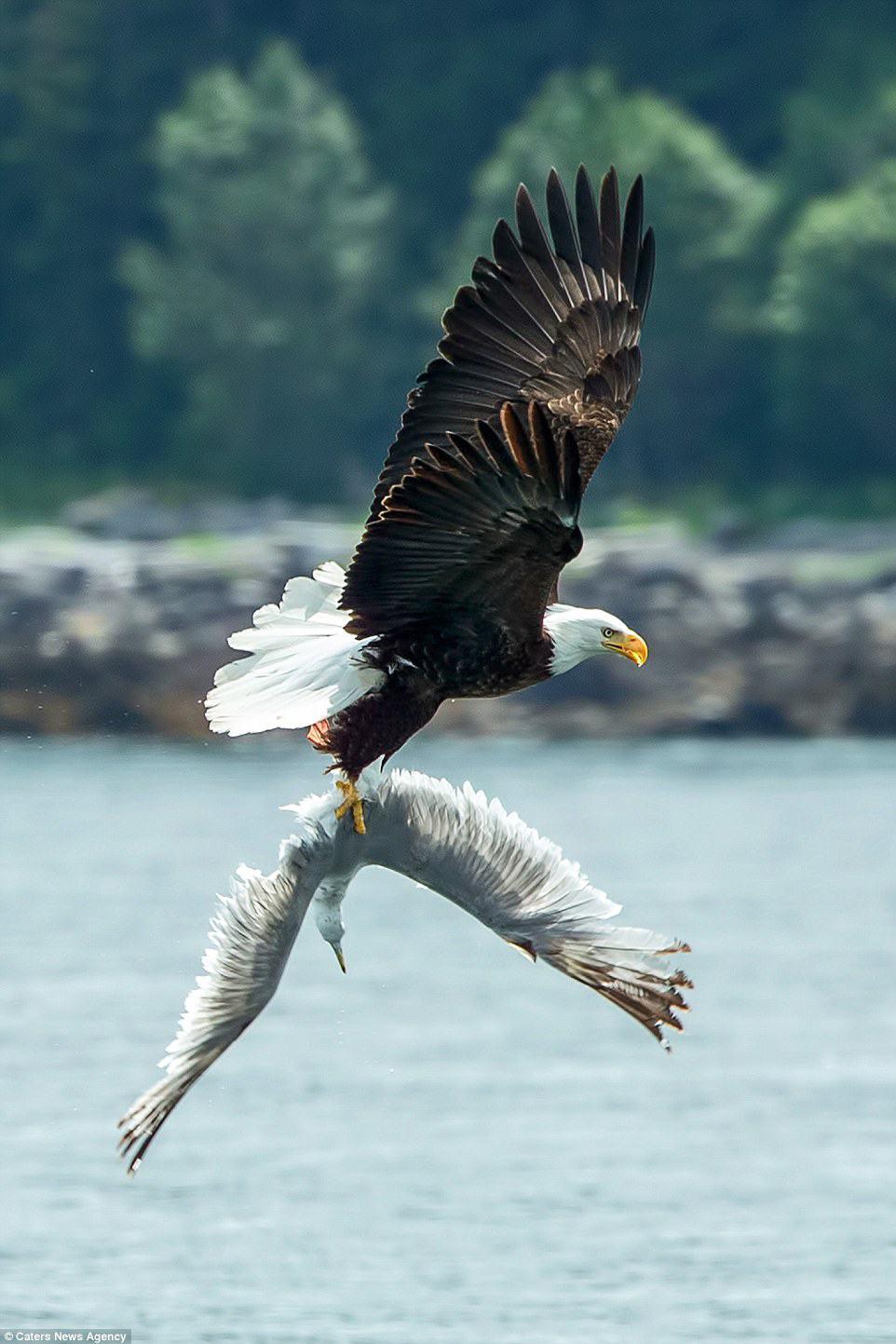 Obrázek eagleandseagull3