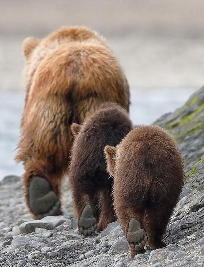 Obrázek medveditlapky