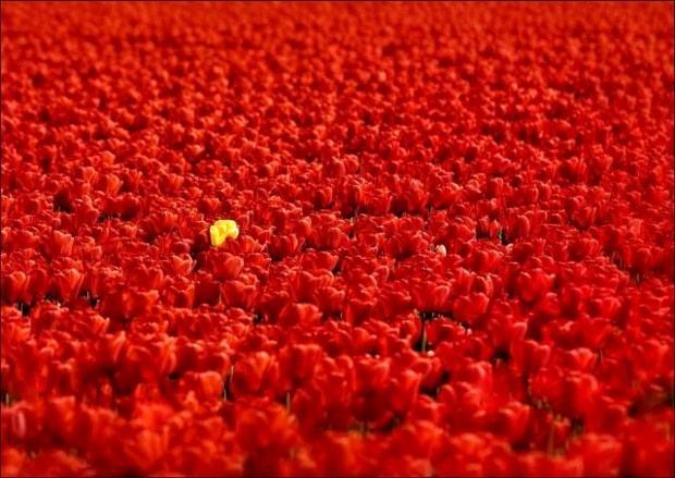 Obrázek tulipany05