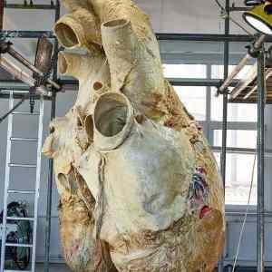 Obrázek 'A-preserved-Blue-Whales-heart'