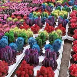 Obrázek 'barevnekaktusy'