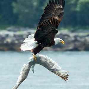 Obrázek 'eagleandseagull3'