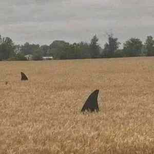 Obrázek 'fieldsharks'