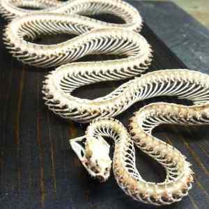 Obrázek 'snakeskeleton'
