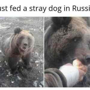 Obrázek 'strayrussiandog'