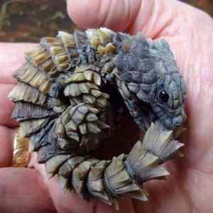 Armadillo-girdled-lizard-looks-just-like-a-baby...